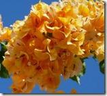 زراعة نبات الجهنمية(المجنونة Bougainvillea 168079_1694842781196_1541637130_1601587_7866090_n_thumb[9].jpg?imgmax=800